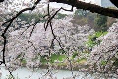 Kwitnący czereśniowi okwitnięcia nalewa w Chidorigafuchi fosę, Chiyoda, Tokio, Japonia w wiośnie Obraz Royalty Free