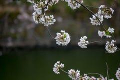 Kwitnący czereśniowi okwitnięcia nalewa w Chidorigafuchi fosę, Chiyoda, Tokio, Japonia w wiośnie Zdjęcia Stock