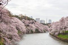 Kwitnący czereśniowi okwitnięcia przy Chidorigafuchi fosą, Chiyoda, Tokio, Japonia Obrazy Stock