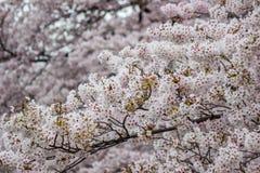 Kwitnący czereśniowi okwitnięcia przy Chidorigafuchi fosą, Chiyoda, Tokio, Japonia Obrazy Royalty Free