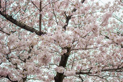 Kwitnący czereśniowi okwitnięcia przy Chidorigafuchi fosą, Chiyoda, Tokio, Japonia Fotografia Royalty Free