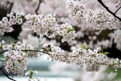 Kwitnący czereśniowi okwitnięcia przy Chidorigafuchi fosą, Chiyoda, Tokio, Japonia Zdjęcia Stock