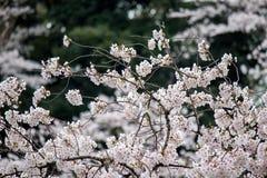 Kwitnący czereśniowi okwitnięcia przy Chidorigafuchi fosą, Chiyoda, Tokio, Japonia Zdjęcie Royalty Free
