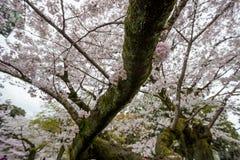 Kwitnący czereśniowi okwitnięcia przy Chidorigafuchi przejściem, Chiyoda, Tokio, Japonia Zdjęcia Stock