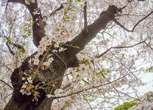 Kwitnący czereśniowi okwitnięcia przy Chidorigafuchi przejściem, Chiyoda, Tokio, Japonia Obrazy Stock