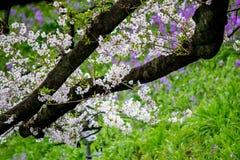 Kwitnący czereśniowi okwitnięcia przy Chidorigafuchi przejściem, Chiyoda, Tokio, Japonia Obraz Stock