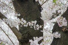 Kwitnący czereśniowi okwitnięcia przy Chidorigafuchi przejściem, Chiyoda, Tokio, Japonia Fotografia Royalty Free