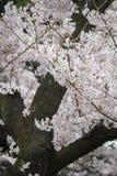 Kwitnący czereśniowi okwitnięcia przy Chidorigafuchi przejściem, Chiyoda, Tokio, Japonia Obraz Royalty Free
