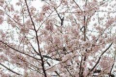 Kwitnący czereśniowi okwitnięcia przy Chidorigafuchi przejściem, Chiyoda, Tokio, Japonia Fotografia Stock