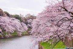 Kwitnący czereśniowi okwitnięcia przy Chidorigafuchi przejściem, Chiyoda, Tokio, Japonia Obrazy Royalty Free
