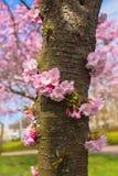 Kwitnący czereśniowy drzewny bagażnik Symbol wiosna Fotografia Royalty Free
