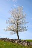 kwitnący czereśniowy drzewo Zdjęcia Stock