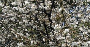Kwitnący czereśniowy drzewo, prunus sp , Normandy w Francja, zwolnione tempo zdjęcie wideo