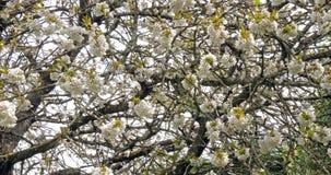 Kwitnący czereśniowy drzewo, prunus sp , Normandy w Francja, zwolnione tempo zbiory