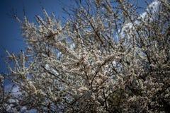 Kwitnący czereśniowy drzewo, udziały kwiecenie rozgałęzia się przeciw niebu zdjęcia royalty free