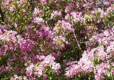 Kwitnący czereśniowy drzewo z różowymi kwiatami natura, winieta Obrazy Royalty Free