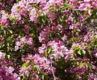 Kwitnący czereśniowy drzewo z różowymi kwiatami natura, winieta Obrazy Stock