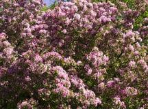 Kwitnący czereśniowy drzewo z różowymi kwiatami natura, winieta Obraz Royalty Free