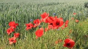 Kwitnący Czerwoni Makowi opia Z Zielonym Pszenicznym polem obraz royalty free