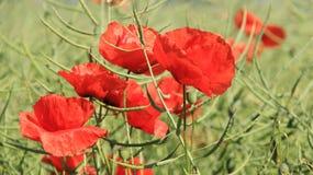 Kwitnący Czerwoni opia Z Zielonymi musztarda strąkami obrazy stock