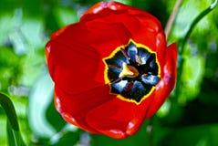 Kwitnący czerwoni tulipany na słonecznym dniu Zdjęcia Stock