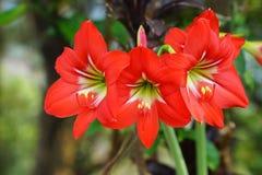 Kwitnący czerwony amarylek lub Hippeastrum kwitniemy w ogródzie obraz stock