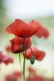 Kwitnący czerwony maczek w łące Zdjęcia Royalty Free