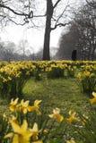 Kwitnący daffodils wewnątrz, Londyn, UK. Zdjęcia Stock