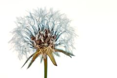 Kwitnący dandelion w naturze na białym tle zdjęcie royalty free