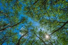 Kwitnący drzewa przeciw niebu Obrazy Royalty Free