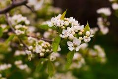 Kwitnący drzewny makro- przeciw tła pojęcia kwiatu wiosna biały żółtym potomstwom Zdjęcia Royalty Free