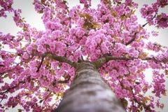 Kwitnący drzewny pełny różowi kwiaty grodowa cesky dziedzictwa krumlov sezonu wiosna przeglądać świat Fotografia Stock