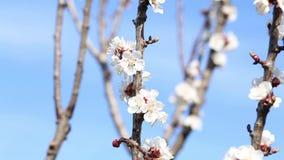 Kwitnący drzewo i pszczoły zbiera nektar zbiory wideo