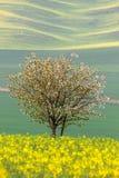 Kwitnący drzewo nad koloru żółtego i zieleni polami - abstrakcjonistyczna wiosna Zdjęcia Stock
