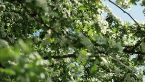 Kwitnący drzewo przeciw niebieskiemu niebu, zwolnione tempo zbiory
