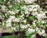 Kwitnący drzewo przy słonecznym dniem Zdjęcia Stock