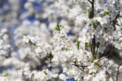 Kwitnący drzewo w wiośnie Obrazy Stock