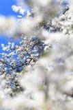 Kwitnący drzewo w wiośnie Fotografia Stock