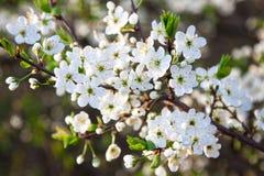 Kwitnący drzewo z białymi pięknymi kwiatami Fotografia Stock
