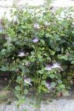 Kwitnący dziki dorośnięcie kaparu krzak fotografia royalty free