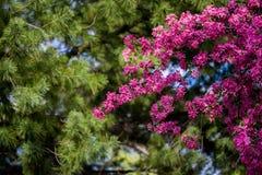 Kwitnący dziki jabłko Obrazy Royalty Free