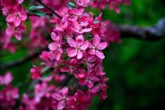 Kwitnący dziki jabłko Zdjęcia Royalty Free