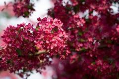 Kwitnący dziki jabłko Zdjęcia Stock