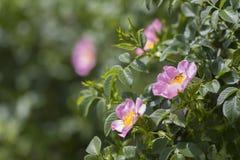 Kwitnący dziki wzrastał z pszczoły obsiadaniem Zdjęcia Stock