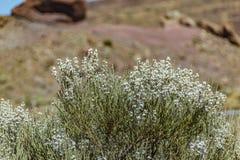 Kwitnący endemiczny krzak Biali kwiaty Retama rhodorhizoides Czerwona lawa kołysa na zamazanym tło parku narodowym Teide, zdjęcia stock