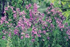 Kwitnący fiołków kwiaty Zdjęcia Stock