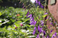 Kwitnący fiołków kwiaty Fotografia Royalty Free