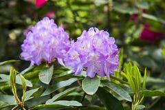 Kwitnący fiołkowy różanecznik Fotografia Stock
