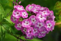 Kwitnący floksa paniculata zdjęcia royalty free