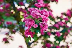 kwitnący głóg Obraz Stock